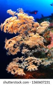 coral in sipadan wall