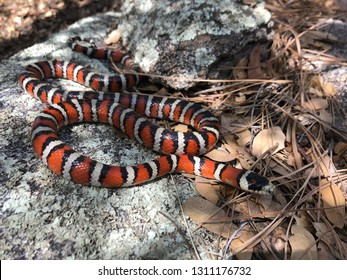 Coral Snake colors, Lampropeltis pyromelana, a colorful mimic resting in dappled sunlight