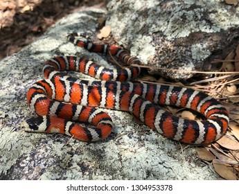 Coral Snake mimic - Arizona Mountain Kingsnake, Lampropeltis pyromelana