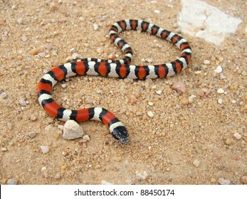 Coral Snake - a mimic, Lampropeltis triangulum gentilis