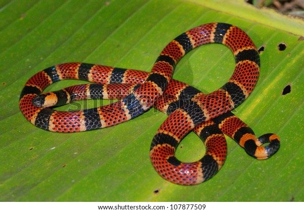 Coral Snake in the rainforest at night