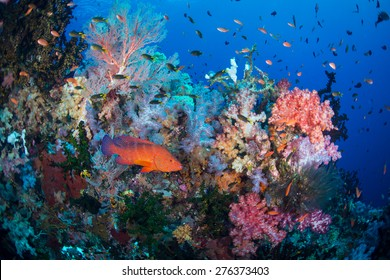 A coral trout from the family of the groupers swims by a very colorful coral scene in Raja Ampat.