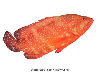 Coral Trout isolated on white background. (Coral Grouper fish)