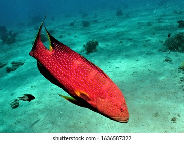 A Coral trout also known as Plectropomus leopardus underwater
