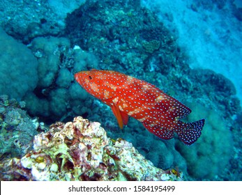 The coral trout, leopard coral grouper, or leopard coral trout is a species of fish in the family Serranidae. Native to the western Pacific Ocean, its natural habitat includes open seas and coral reef