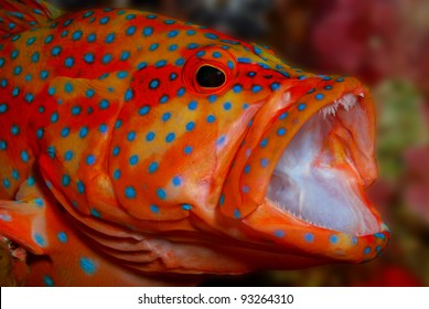 Coral Trout Yawn