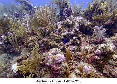 Coral underwater, Silk Caye, Placencia, Belize