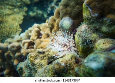 Corallinales Coral Reef