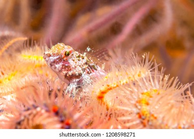 A coralline sculpin rests in a bed of brittle stars in the waters of California's Channel Islands.