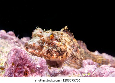 A coralline sculpin rests on a reef in the waters of California's Channel Islands.