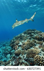 Corals with a blacktip reef shark underwater on the outer reef of Huahine island, Pacific ocean, French Polynesia