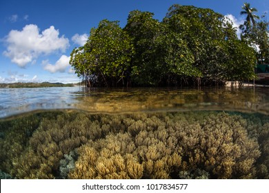 Corals grow in shallow water near a mangrove forest in the Solomon Islands. The Solomon Islands are part of the Coral Triangle due to the amazing marine biodiversity found there.