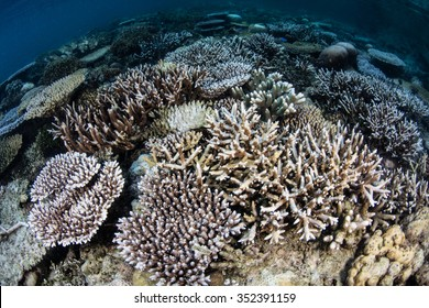 Corals have begun to bleach on a shallow reef in Raja Ampat, Indonesia. Bleaching usually occurs due to high sea surface temperatures.