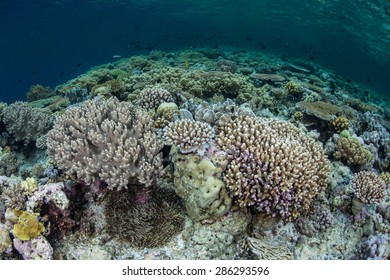 Corals thrive on a shallow reef in Wakatobi National Park, Indonesia. This area, found just south of Sulawesi, harbors some of the Coral Triangle's most healthy reefs.