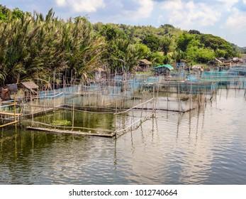 Cordillera Mountains, Luzon, Philippines - 4/27/2015: Giant river prawns, Macrobrachium rosenbergii, are raised in net pens on a freshwater river in Luzon Island, Philippines.