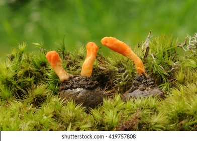 Cordyceps militaris fungus (parasitic) on the butterfly cocoon