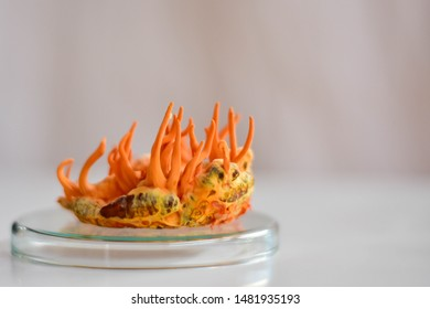 Cordyceps militaris tang chao growing on Bombyx mori, mulberry silkworm pupa in glass petri dish with white background.
