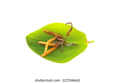cordyceps on the green leaf