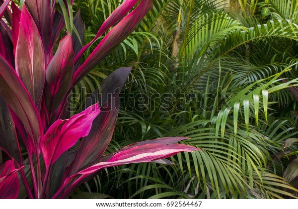 Cordyline fruticosa, pink plant, in nature. Tropical foliage, forest view.