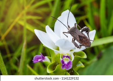 Coreid bug (Squash bug) on the white flower.