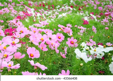 Coreopsis field in Hokkaido in Japan