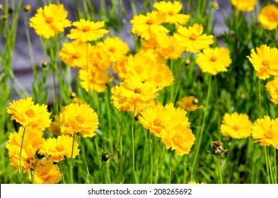 Coreopsis lanceolata. Taken in the Early summer of Japan.