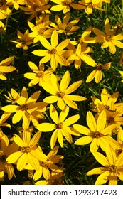Coreopsis verticillata or threadleaf coreopsis zagreb yellow flowers vertical