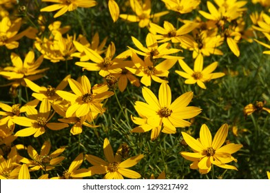 Coreopsis verticillata or threadleaf coreopsis zagreb yellow flowers