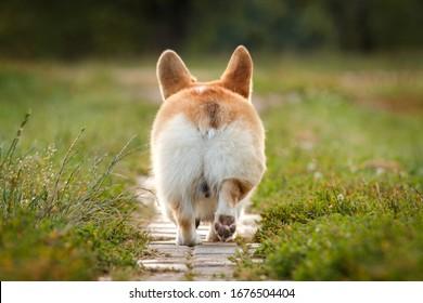 Corgi butt dog pembroke welsh corgi walking outdoor in summer park