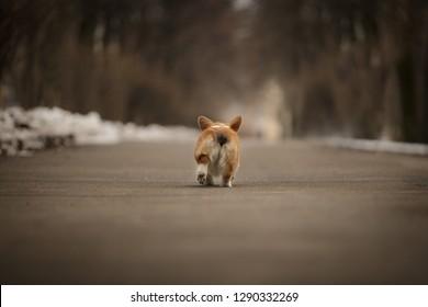 corgi butt pembroke whelsh corgi dog walking away outdoor in winter