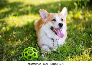 Corgi dog lying on the lawn with a ball