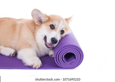 corgi dog on a yoga mat, concentrating for exercise, isolated on white background
