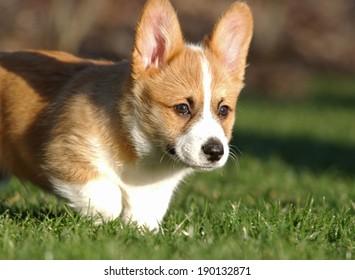 A Corgi dog running in the grass