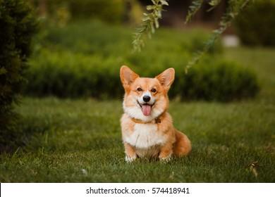 the Corgi dog sitting on the grass