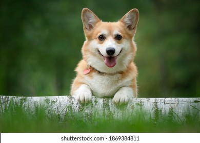 corgi dog sitting on a log