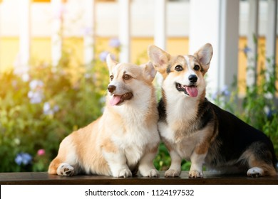 Corgi dog sitting on the table outdoor in summer sunny day