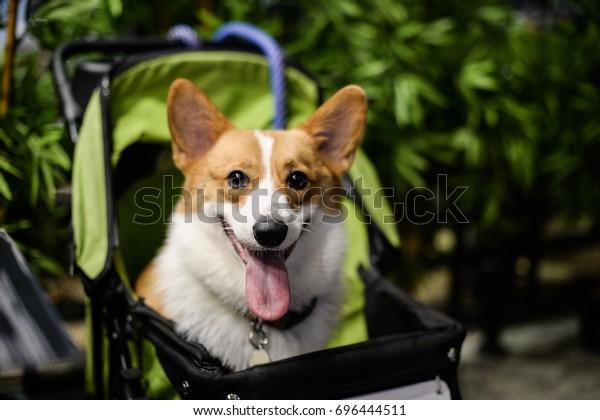 Corgi Dog Smiling Sitting Trolley Stock Photo (Edit Now