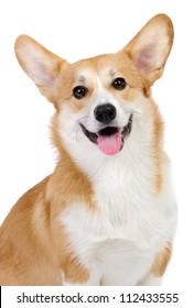 Corgi dog in studio on the white background