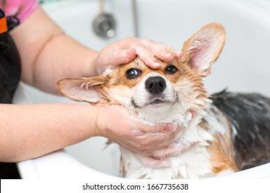 Corgi dog washes in the bathroom
