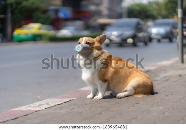 Corgi dog wear dust mask sit on sidewalks with heavy traffic that have dust and air pollution problems.air pollution environment problems affecting the lives of people and animals.