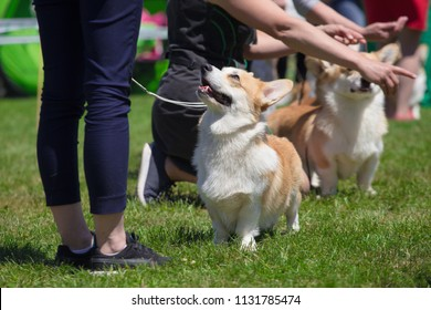 corgi dogs and handlers at the dog show