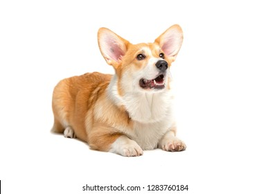 Corgi Fluffy puppy Dog Isolated on white background