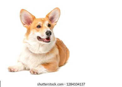 Corgi Fluffy puppy Dog in studio