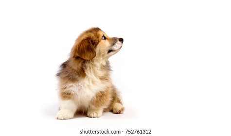 corgi fluffy puppy on a white background