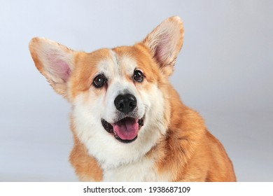 corgi on a gray background in the studio shooting close-up