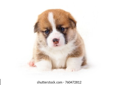 Corgi puppies on white background.