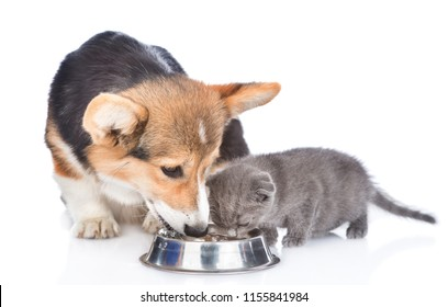 corgi puppy and kitten drink water together from one bowl. isolated on white background