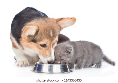 corgi puppy and kitten eat together from one bowl. isolated on white background