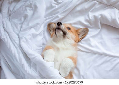corgi puppy lies under the blanket sleeping on the bed