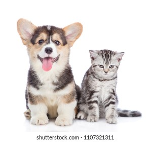 corgi puppy with open mouth sits with scottish tabby kitten and looking at camera. isolated on white background
